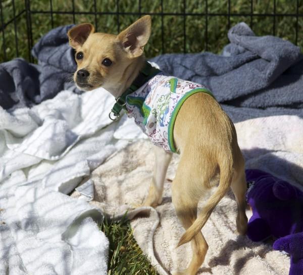 Three-Legged Chihuahua Puppy With One Floppy Ear
