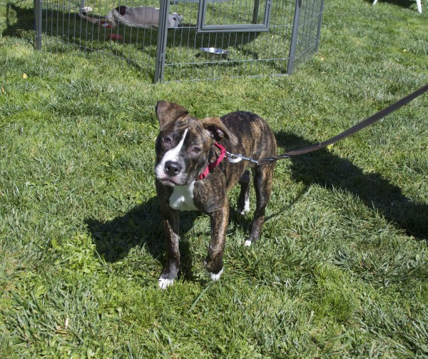 Brindle-and-White Pit Bull Mix
