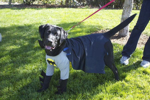 Black Labrador Retriever Dressed As Batman/Batdog