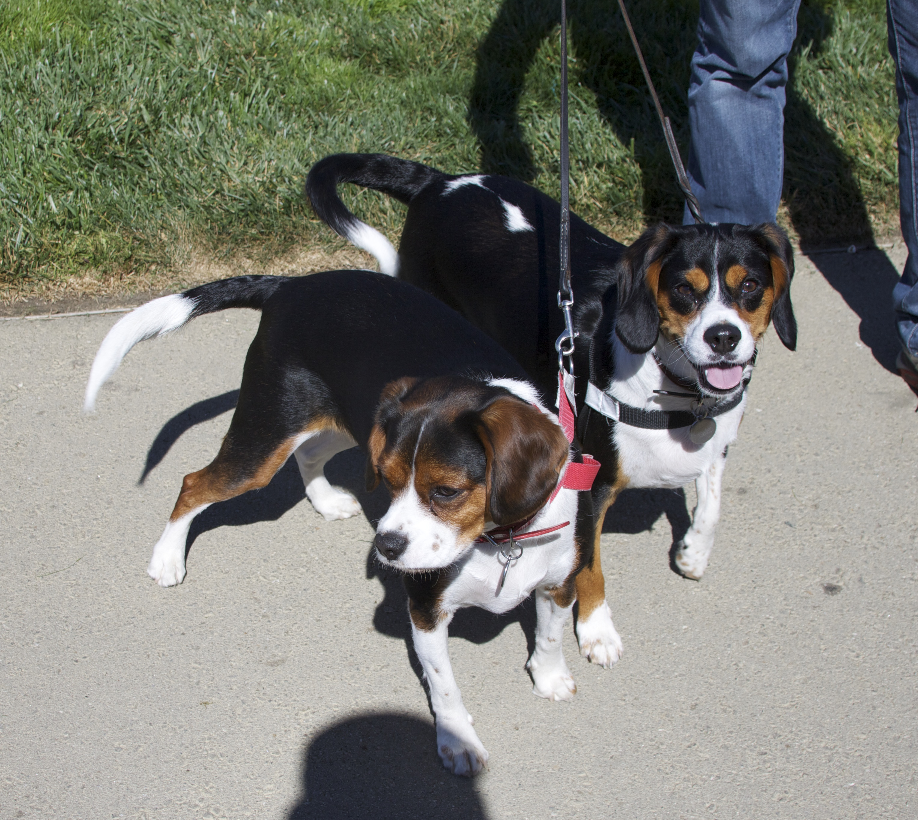 Two Tricolor Beagles