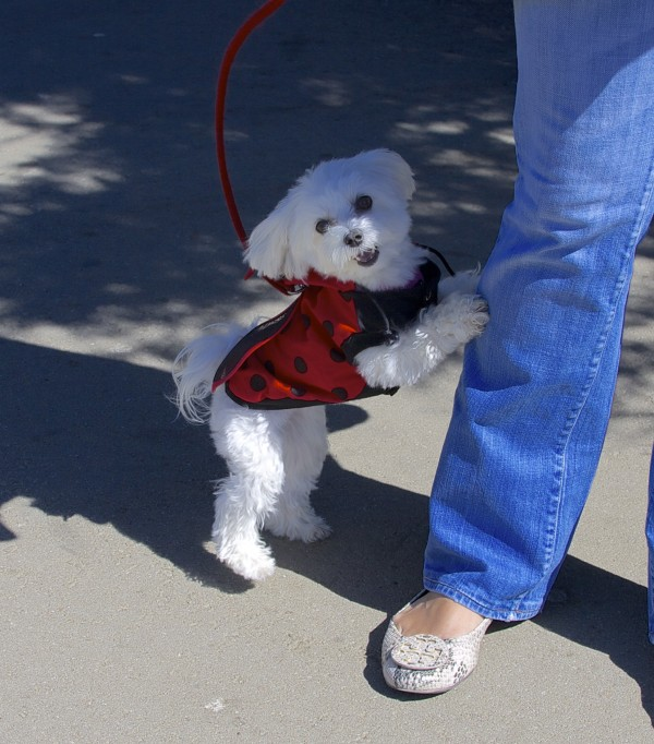 White Teacup Poodle in a Ladybug Costume