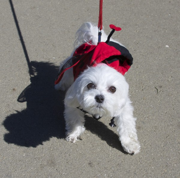 White Miniature Poodle in a Ladybug Costume