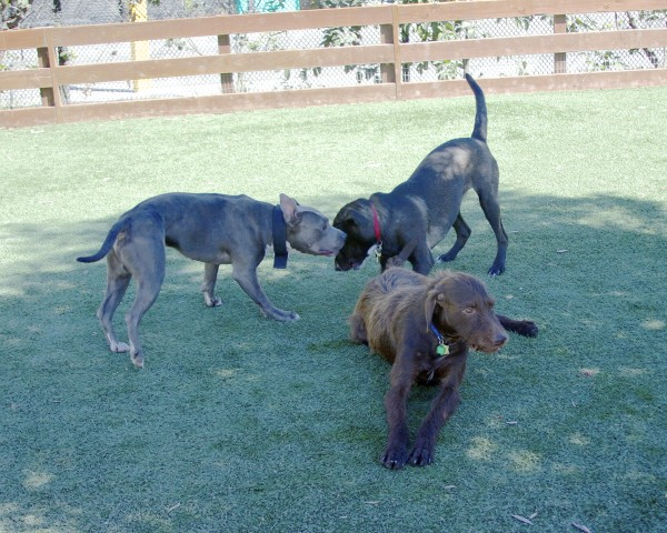 Brown German Wirehaired Pointer Mix, Grey-and-White American Pit Bull Terrier, and Labrador Retriever Mix