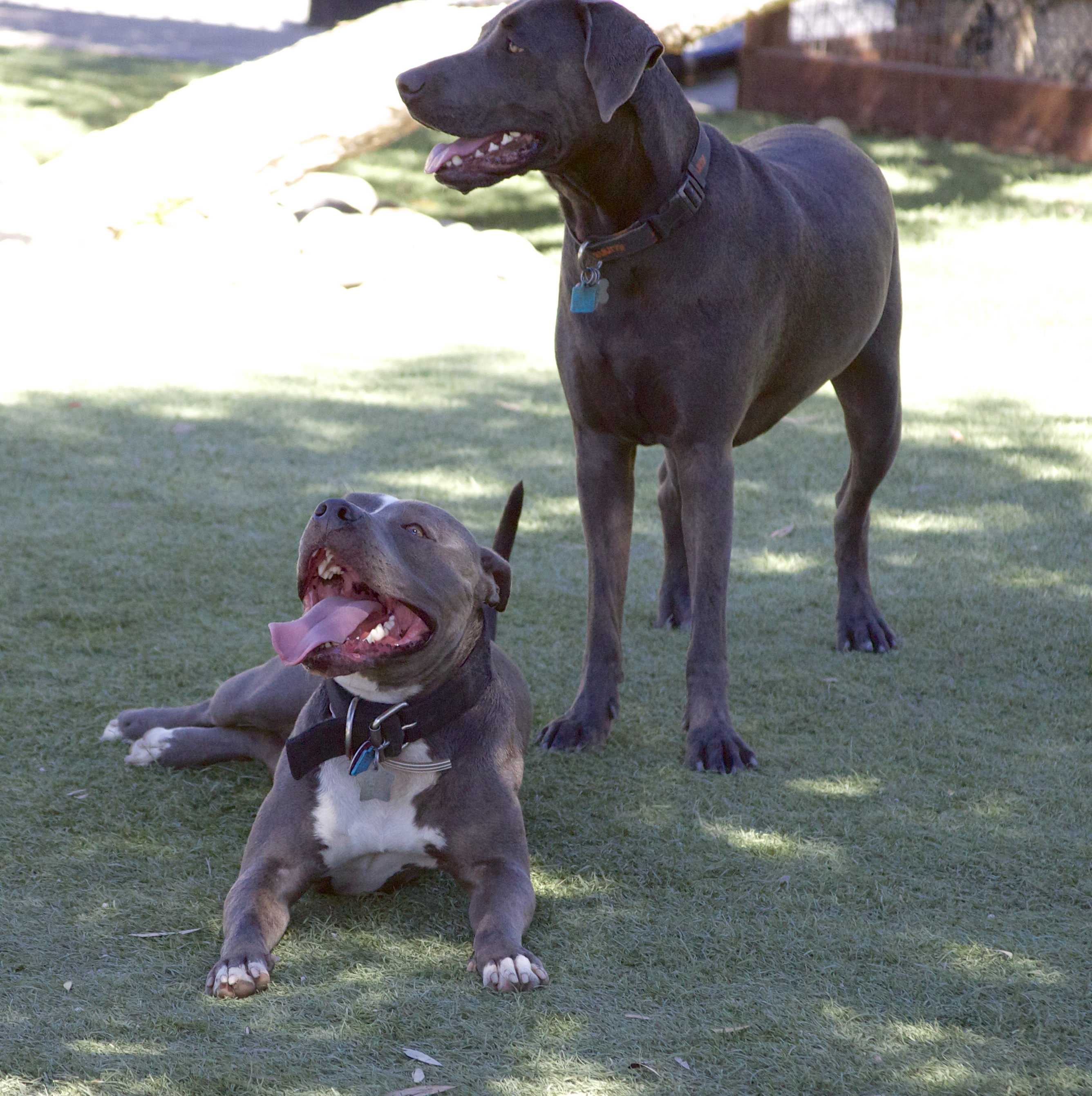 Grey and White American Pit Bull Terrier with Weimaraner