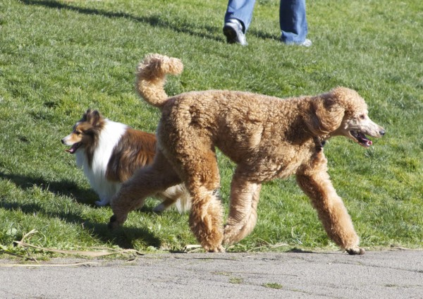 Apricot Standard Poodle and Tricolor Shetland Sheepdog/Sheltie