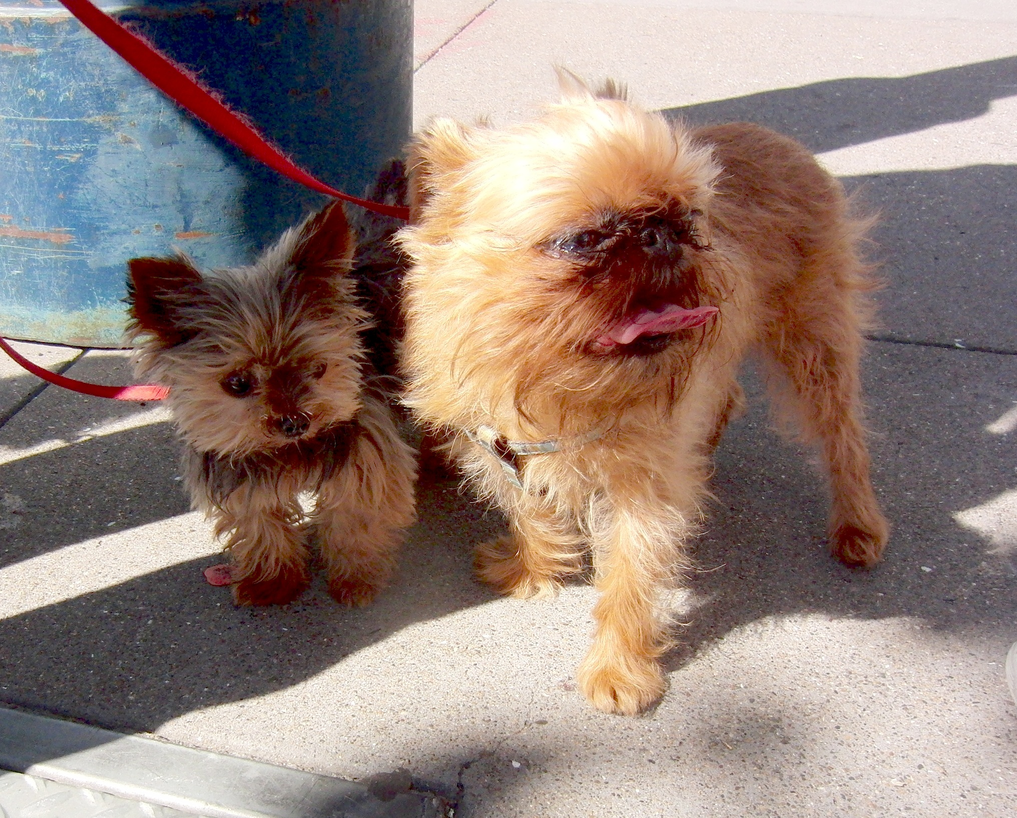 Young Yorkshire Terrier and Brussels Griffon