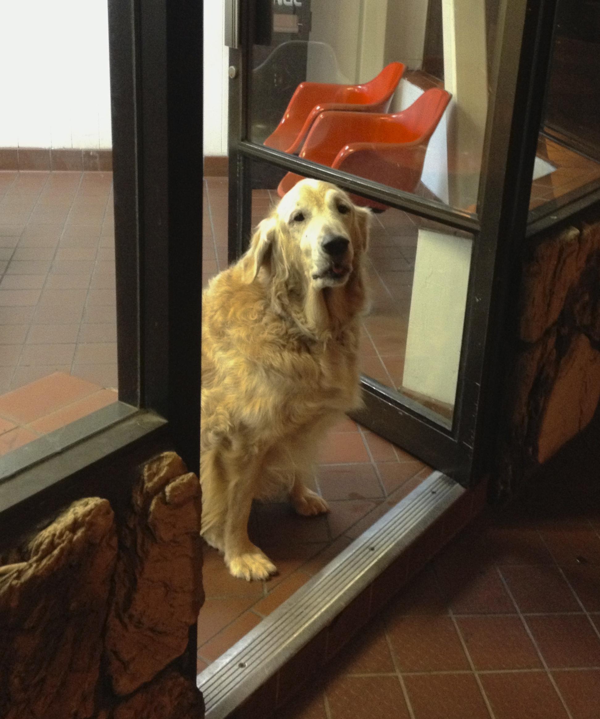 Zachary, AKA Laundry Dog, the Golden Retriever