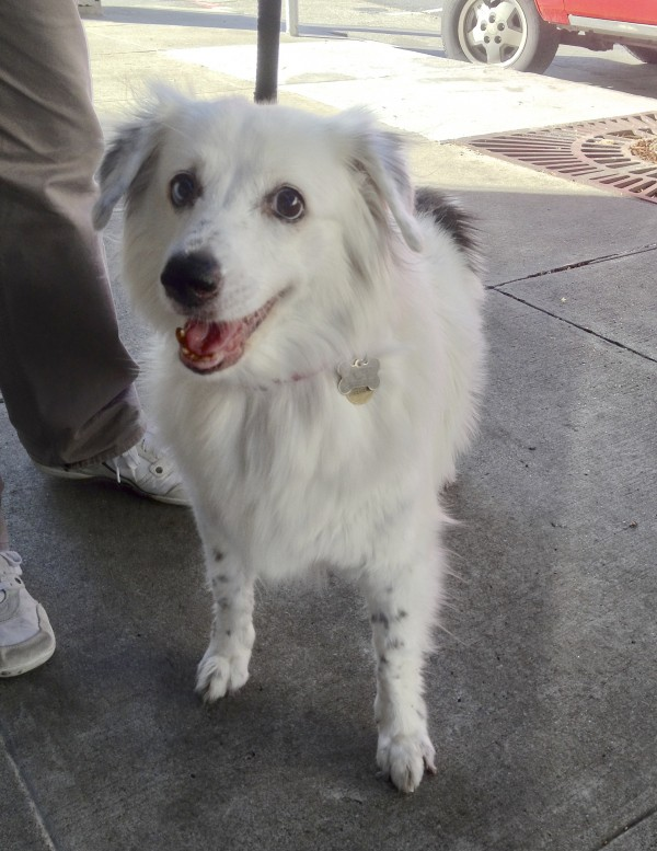 White Australian Shepherd Lab Mix Images & Pictures - Becuo