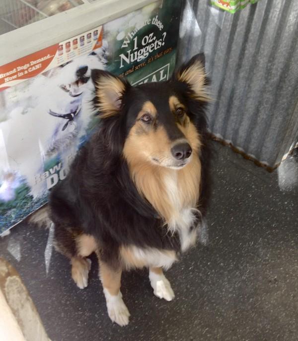 Tricolor Collie/Australian Shepherd Mix