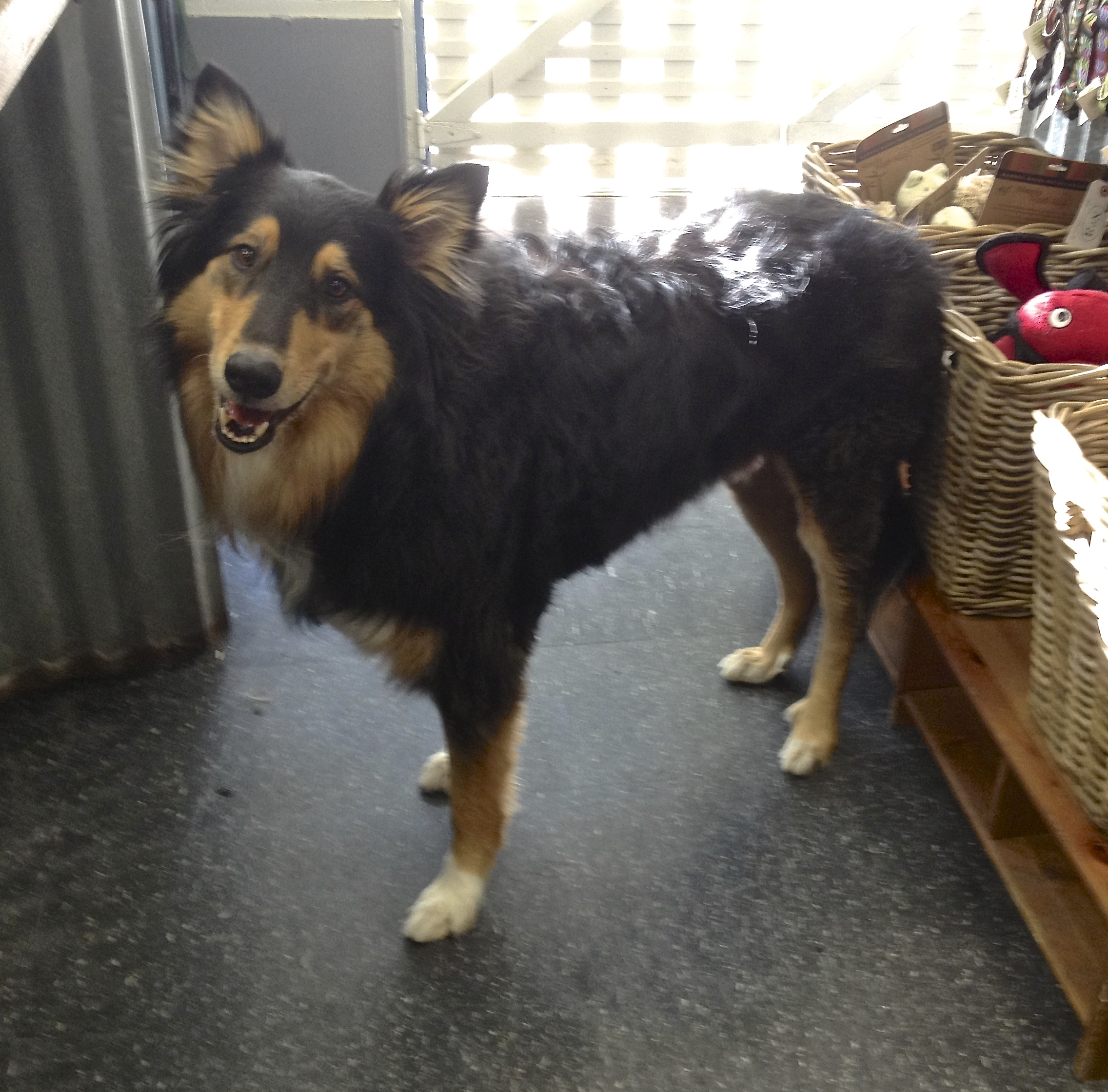 Australian Shepherd Collie Mix Tricolor collie/australian