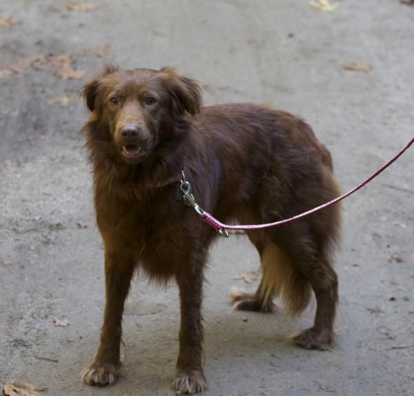 Red Australian Shepherd/Labrador Retriever Mix