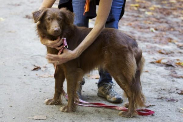 Red Labrador Retriever/Australian Shepherd Mix