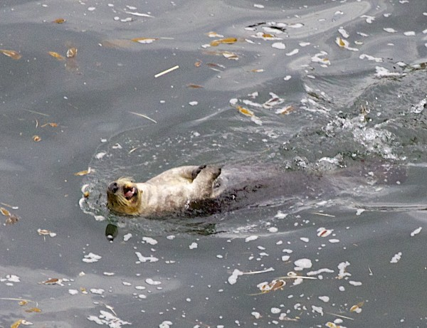 Southern Sea Otter Swimming On His Back And Yawning in Point Lobos State Reserve, California