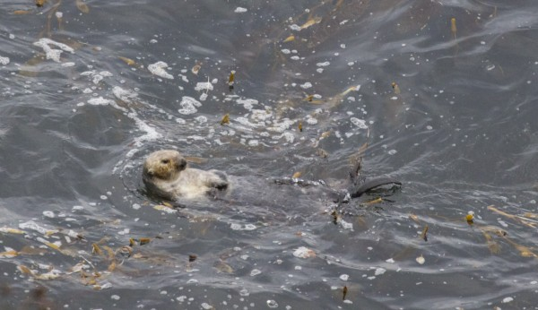 Southern Sea Otter in Point Lobos State Reserve, California