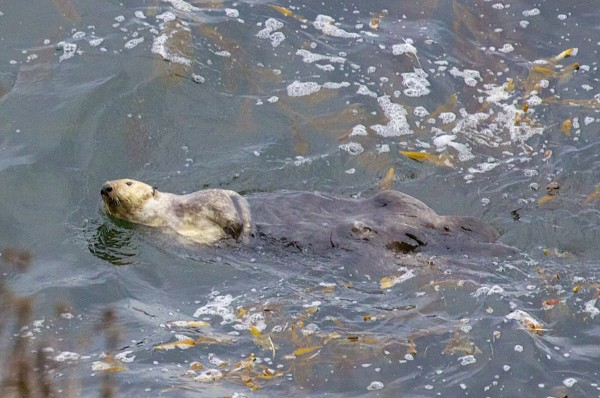 Southern Sea Otter Swimming Away While Looking At The Camera in Point Lobos State Reserve, California