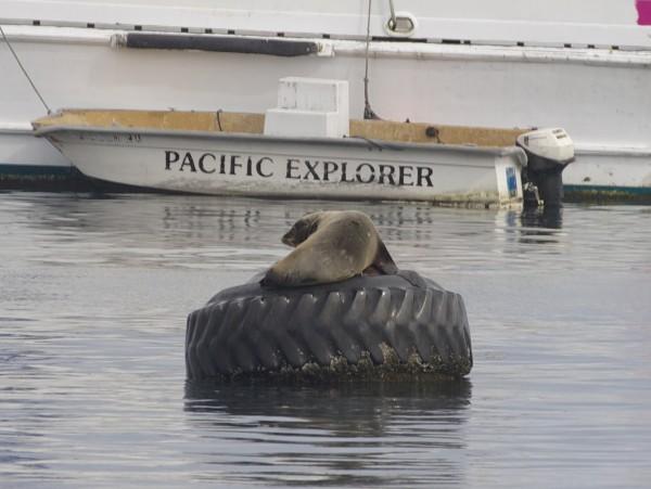 Monterey Sea Lion Basking on Tire Float