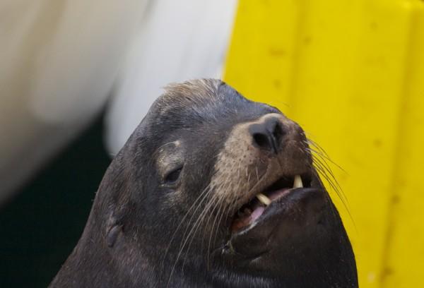 Male Monterey Sea Lion