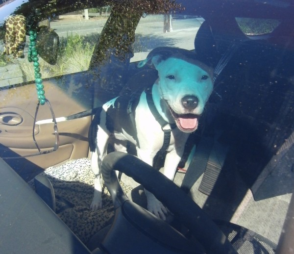 Young Pit Bull in a Car