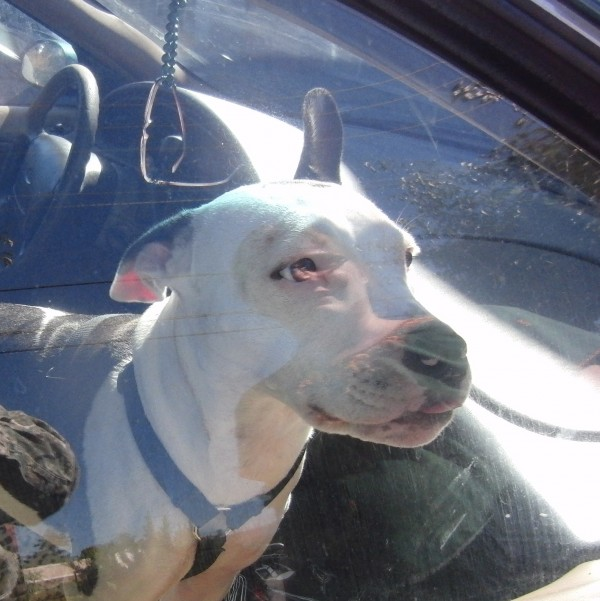 Black and White American Pit Bull Terrier in a Car