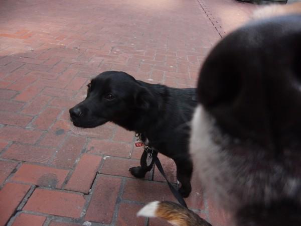 Black Labrador Retriever Mix With White Socks and GIANT DOG NOSE