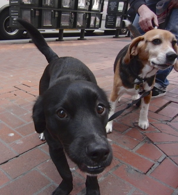 Tricolor Beagle and Black Labrador Retriever Mix With White Socks