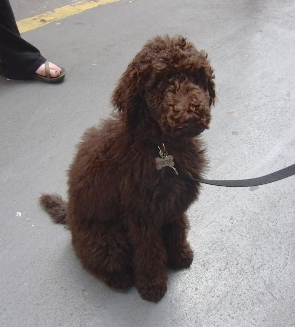 Large Brown Goldendoodle
