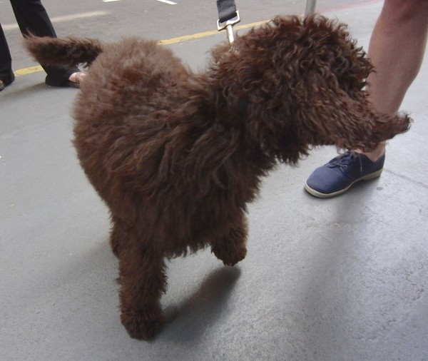 Big Brown Labradoodle