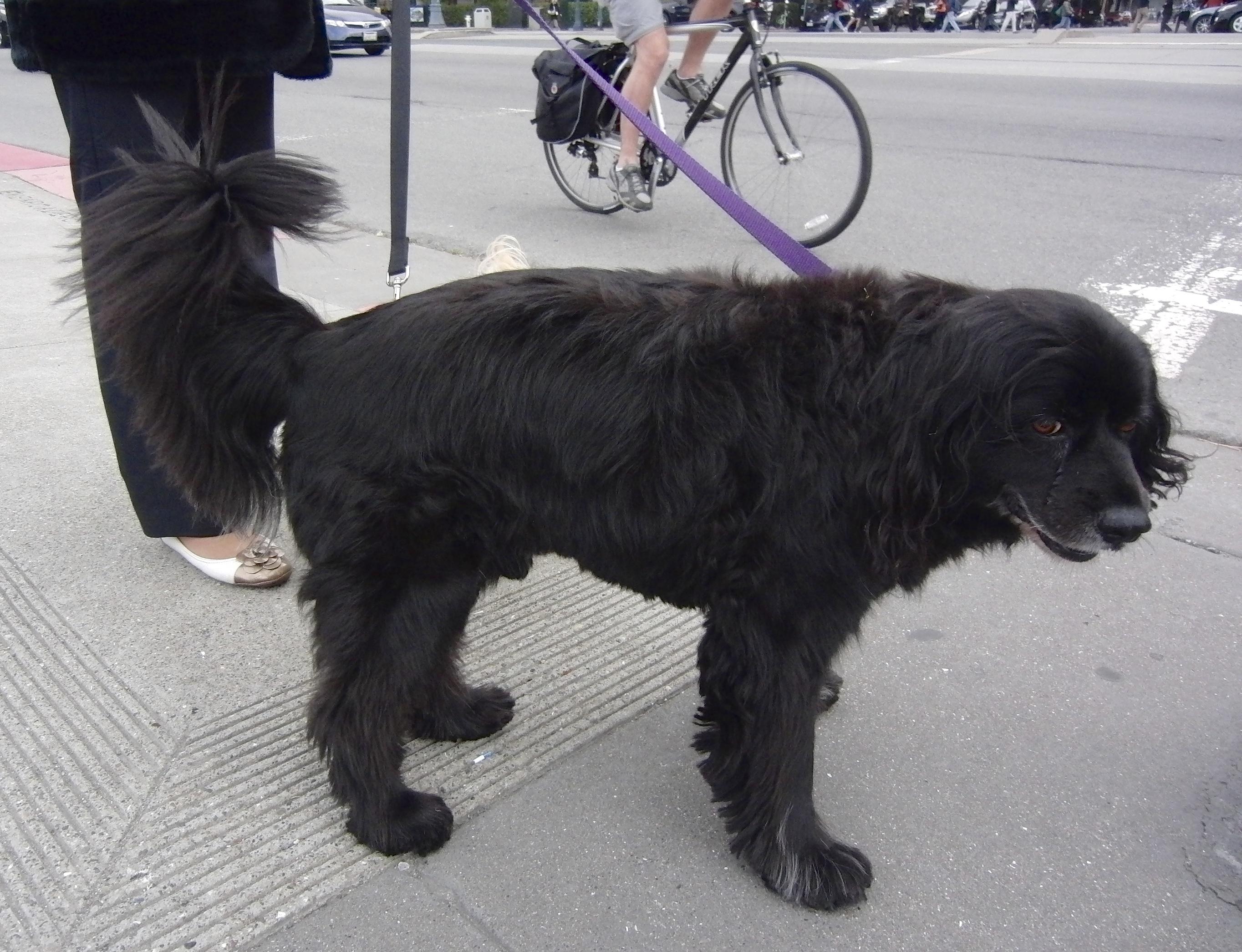 Black Shaggy Long-Haired Cocker Spaniel Labrador Retriever Mix