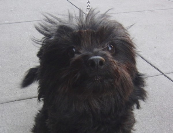 Black Pomeranian/Poodle Mix