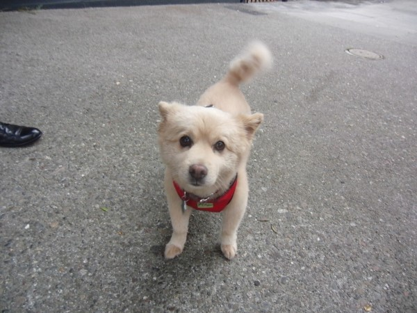 Very Small Cream-Colored Chow Mix