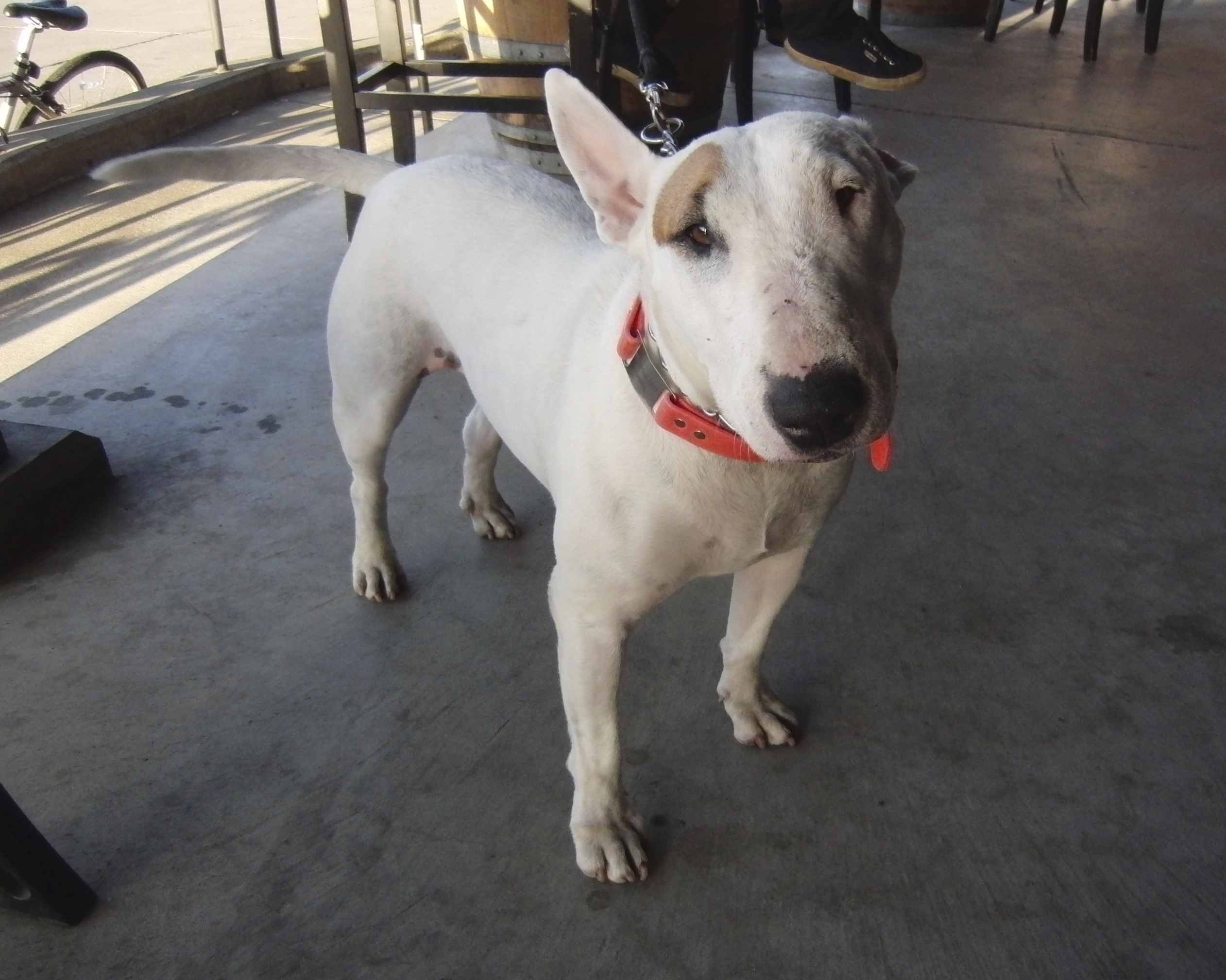 White English Bull Terrier With One Ear