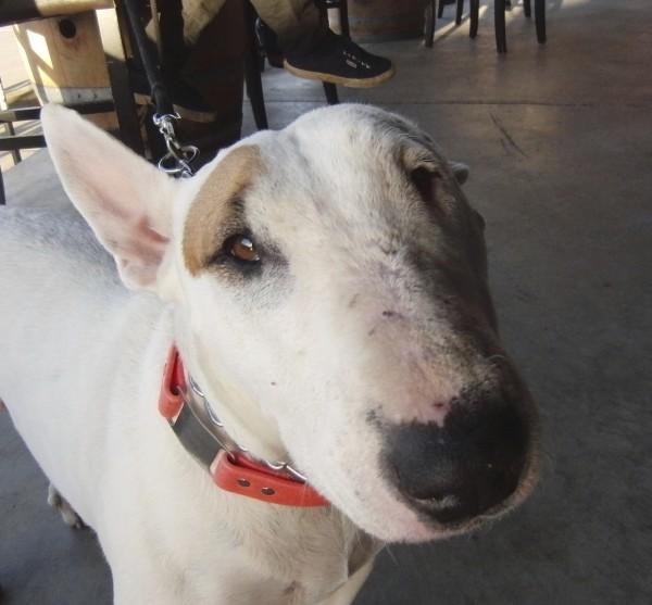 White One-Eared English Bull Terrier