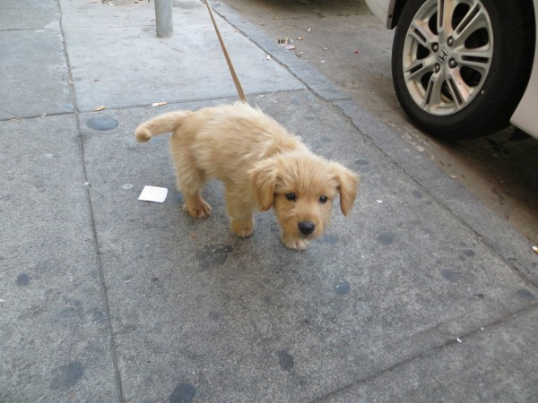 Golden Retriever Mix Puppy