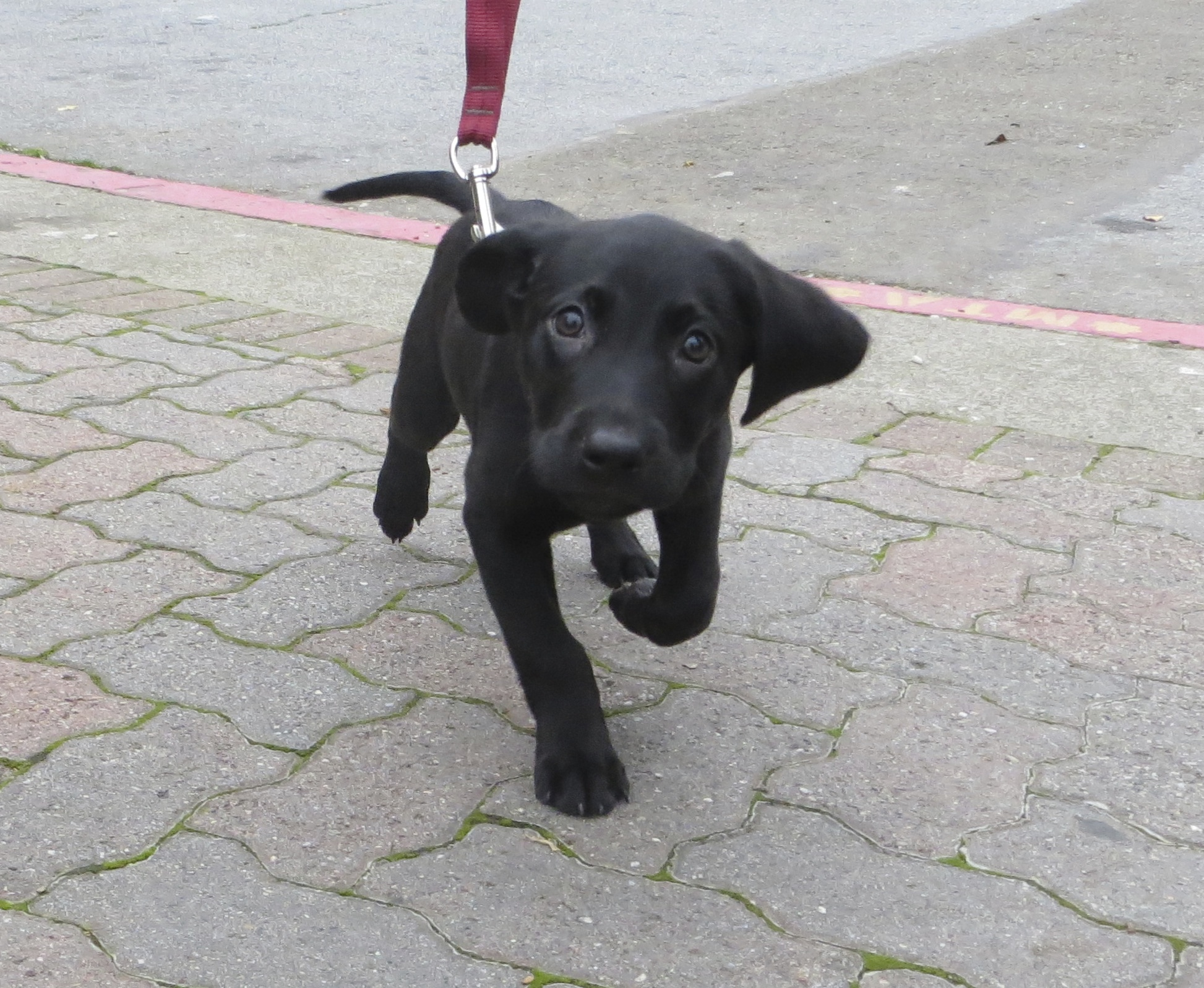 10-Week-Old Black Labrador Retriever Puppy