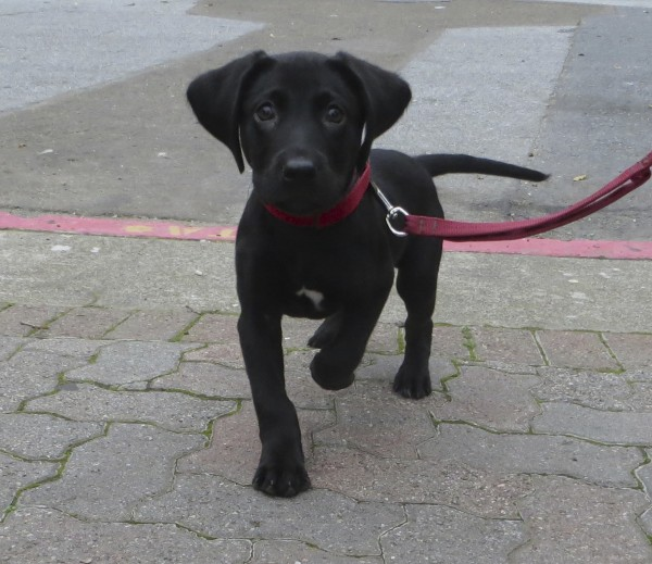 10-Week-Old Black Labrador Retriever Puppy