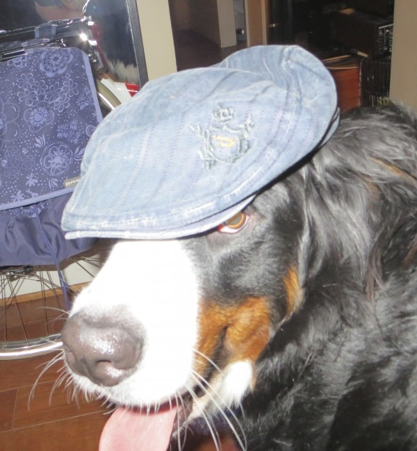 Bernese Mountain Dog in a Hat