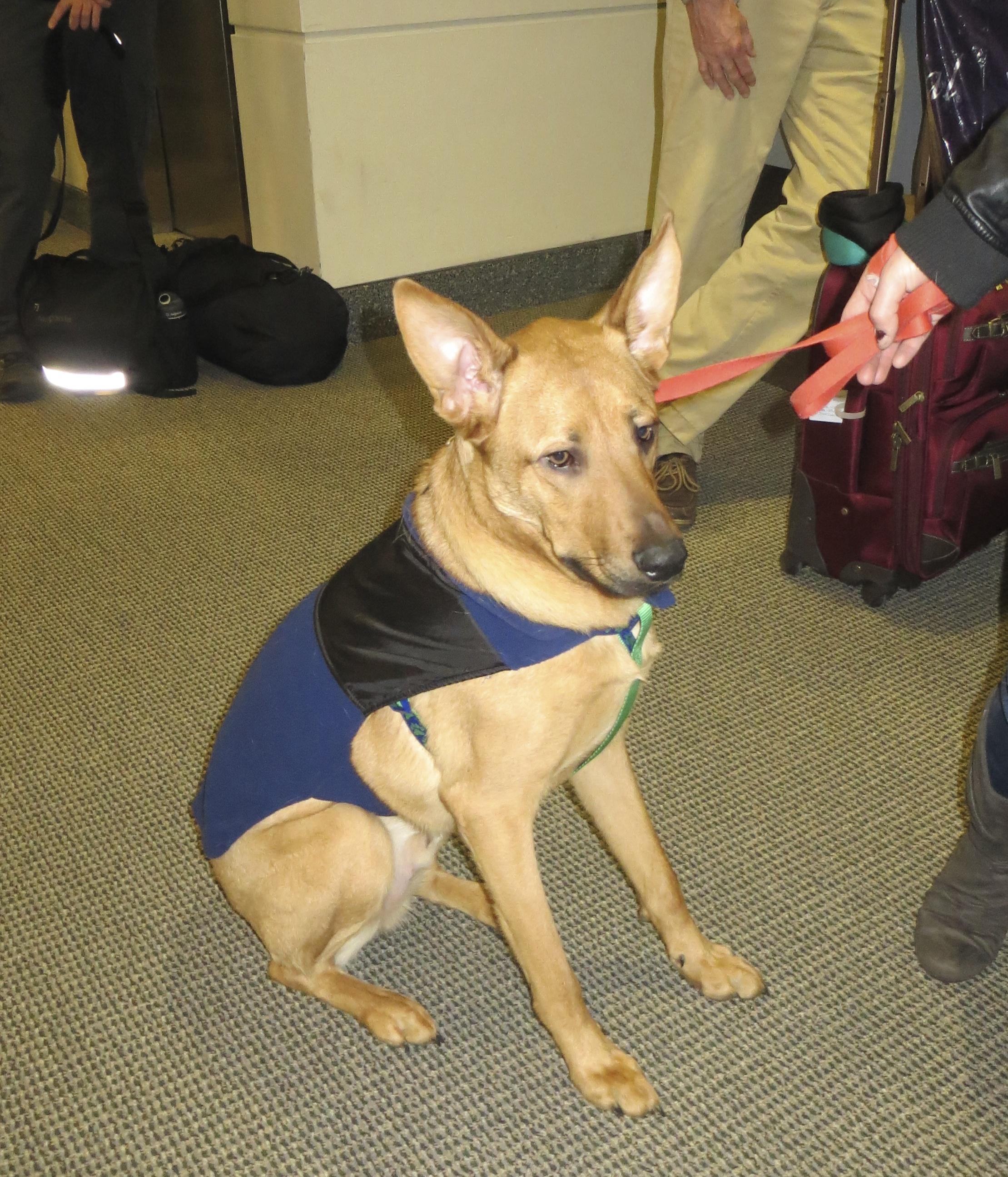 German Shepherd Assistance Dog
