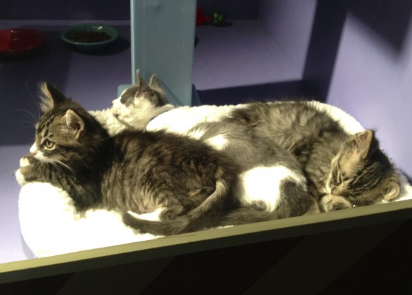 Three Cuddling Kittens