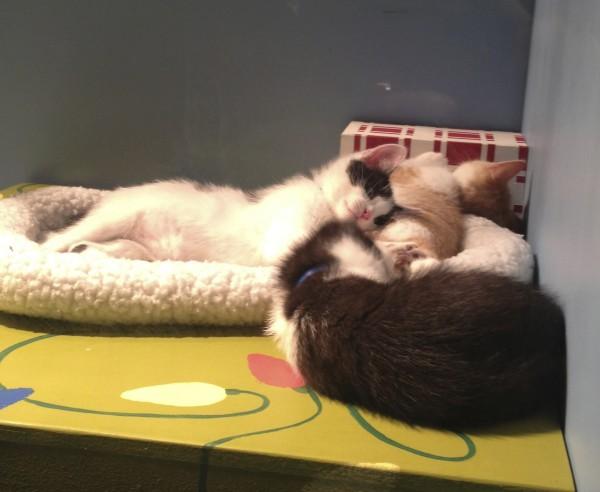 Three Cuddling Sleeping Kittens