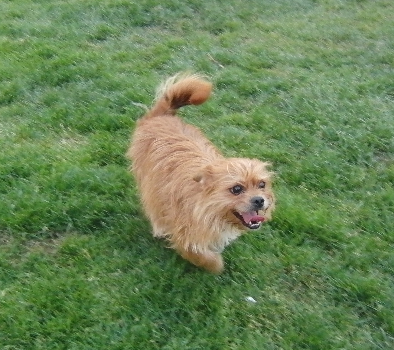 Smiling Cairn Terrier