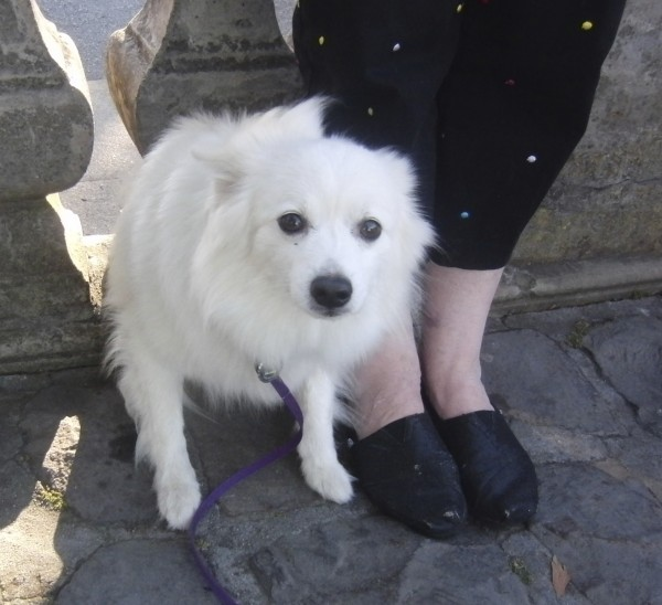 Dog Of The Day Ka Floofy American Eskimo Dog The Dogs