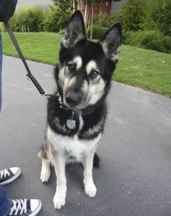 Black and Cream German Shepherd/Alaskan Malamute Mix