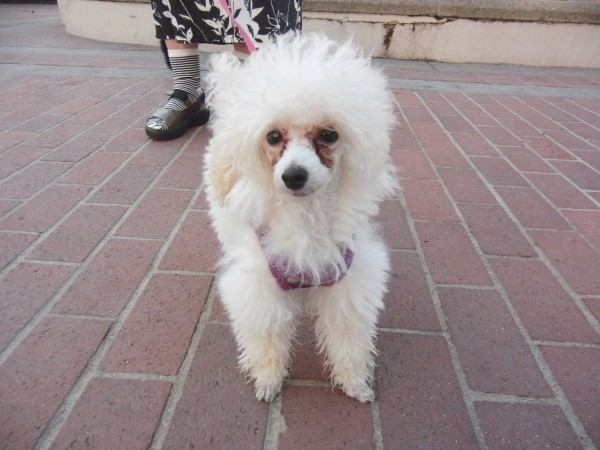 White Teacup Poodle