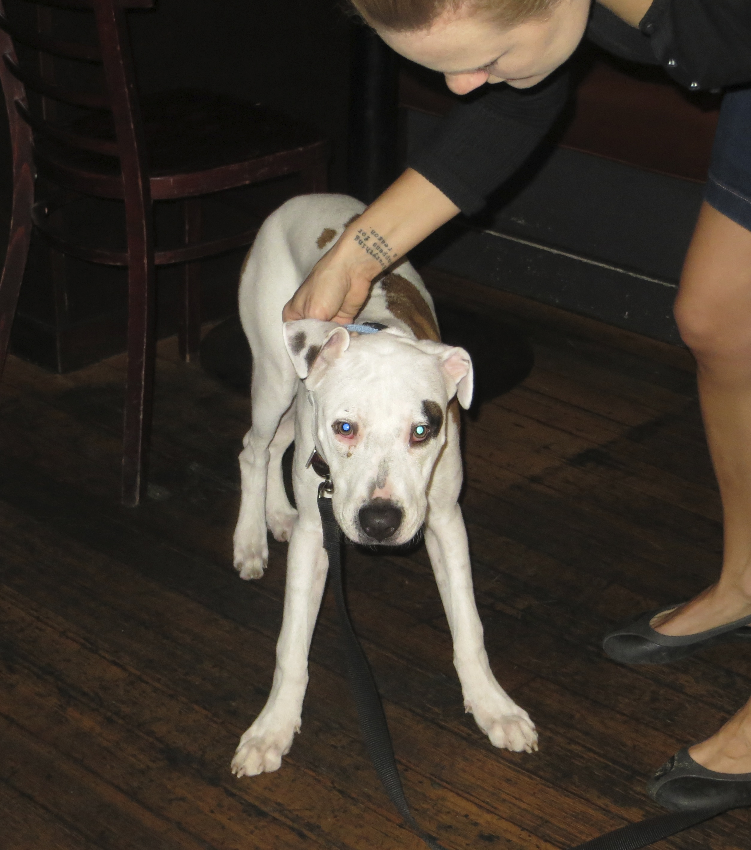 White American Pit Bull Terrier Mix With Black Spots on his Ears