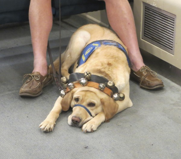Golden Retriever Therapy Dog With Two Sleigh Bell Collars