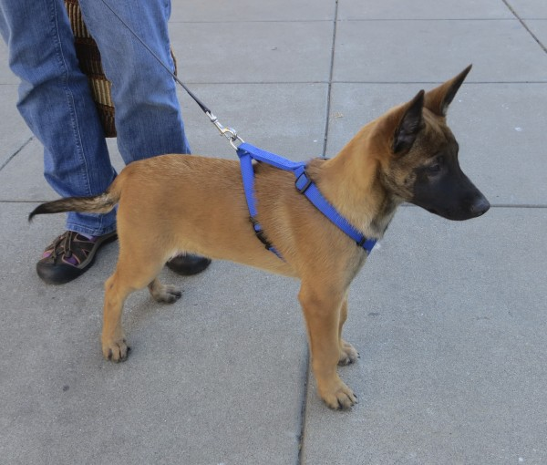 dog of the day mimi the 11 week old belgian malinois