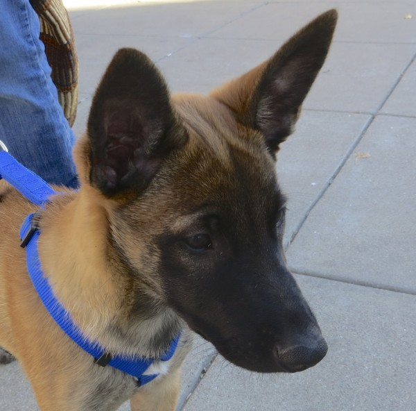 3-month-old Belgian Malinois Puppy