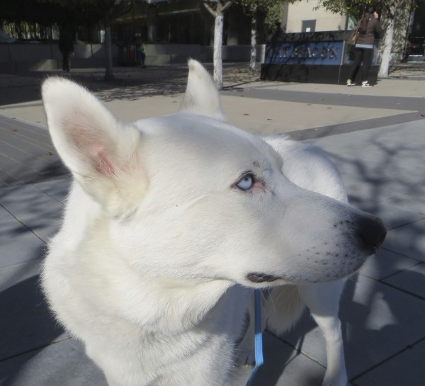 White German Shepherd/Siberian Husky Mix with Blue Eyes
