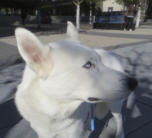 White German Shepherd/Siberian Husky Mix with Blue Eyes