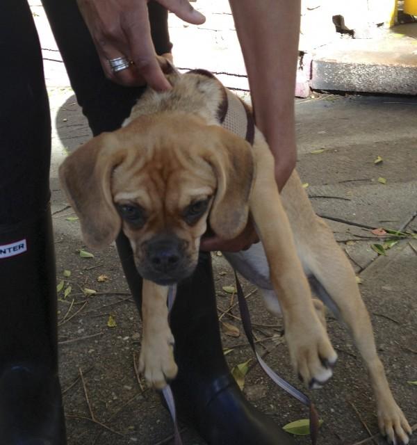 Tan Puggle (Pug/Beagle Mix) Puppy